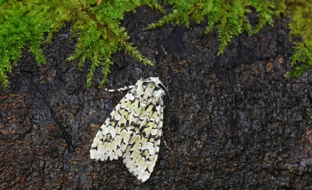 view of a Merveille du Jour moth resting on a beech log
