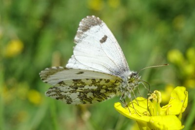 White butterfly with grey tips to its wings and mottled under its hindwings.