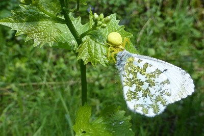 White butterfly, mottled underneath, with a yellow crab spider at its head