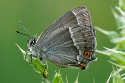 Side view of a butterfly with grey underwings with a jagged white line and orange spotwith a black centre