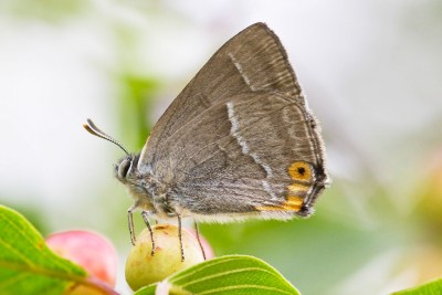 Pale greyish brown butterfly with a white line down its wings and an orange eyespot with a black centre.