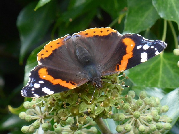 view of a Red Admiral ab.  Bialbata, resting with wings wide open showing extra white spot on red band