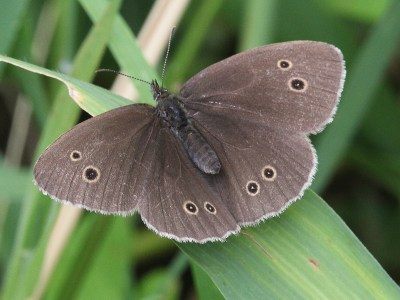 Dark brown butterfly showing open wings with black spots ringed in pale yellow