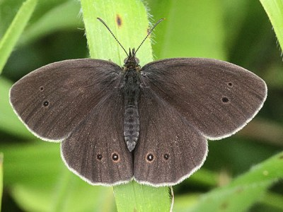 Very dark brown butterfly with a few dark spots and white fringes