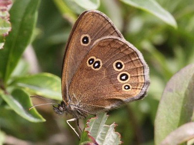 Dark brown butterfly from side, showing only hindwing, which is brown with black spots ringed in pale yellow and with white spot in centre