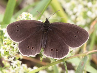 Very dark brown butterfly with white fringes and some dark sptos ringed with pale orange, sitting with open wings