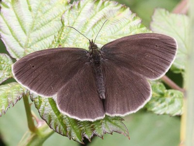Very dark brown butterfly with white fringes