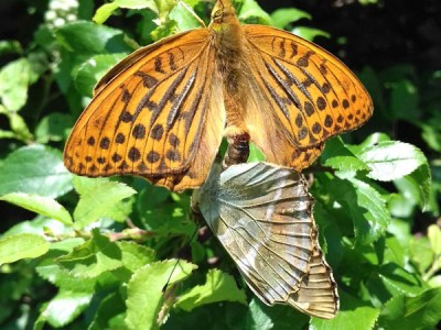 Orange and brown butterfly with open wings above a greenish butterfly side-on