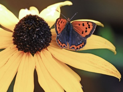 Small orange and brown butterfly on a large yellow daisy flower