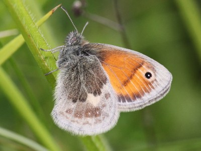 Side view of butterfly with hindwings in various shades of brown and forewing bright orange wih black eyespot