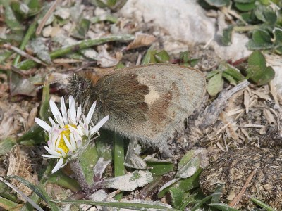 An almost invisible butterfly with hindwings in shades of brown against a broken-up brown background