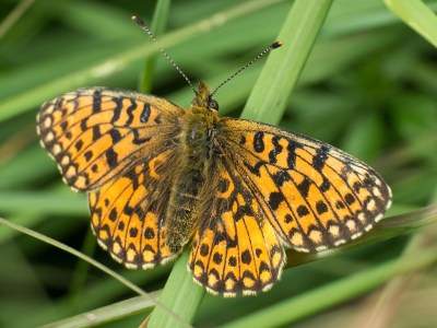 Orange butterfly with lots of brown marks, on a stalk of grass