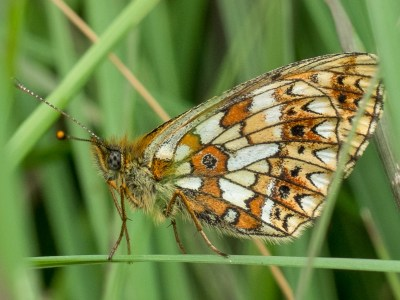 Orange and white butterfly clinging to a grass stalk