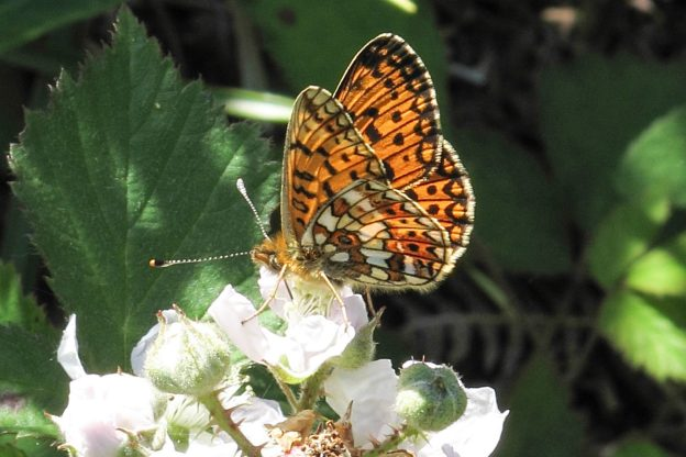 Orange butterfly with a lot of brown markings and some white, on a bramble flower
