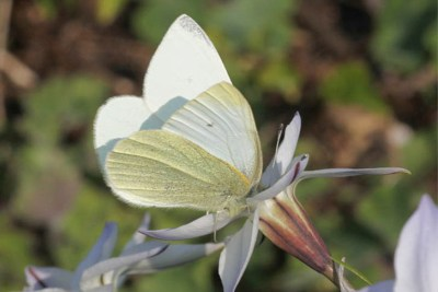 Butterfly which is whit on top and creamy underneath, on a white flower.