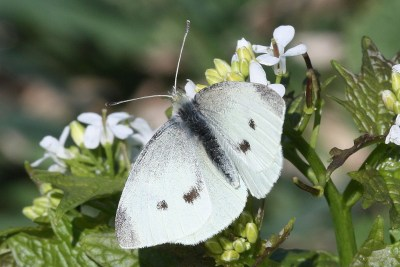 White butterfly with black spots and greyish black wingtips