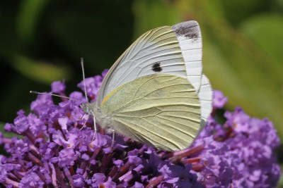 White butterfly with creamy underwings and black spot plus mark on wingtip