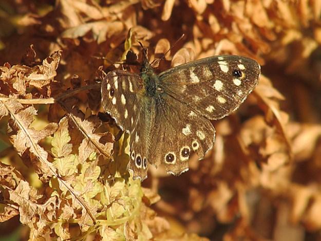 Brownbutterfly with creamy markings on orangey bracken