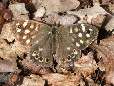 Darkish brown butterfly with cream markings on a bed of dried leaves