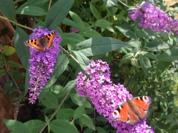 View of a Peacock and a Tortoiseshell nectaring on Buddleia, both showing upper wings