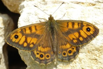 Orange butterfly with a lot of mid brown lines and marks, plus black eyespots with small white dots in centre