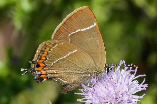 Brown butterfly with white line and orange spots and a small tail, on a thistle flower