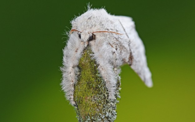 quirky photo of a Pale Prominent moth draped over a twig looking drunk