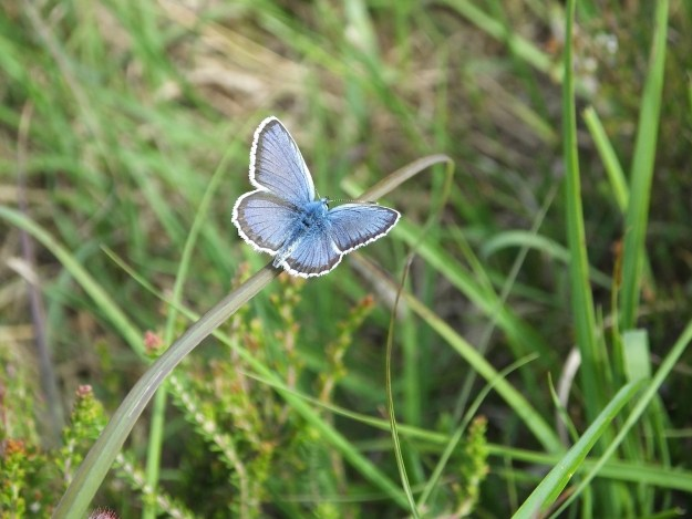 silver-studded blue male resting on grasses with wings open