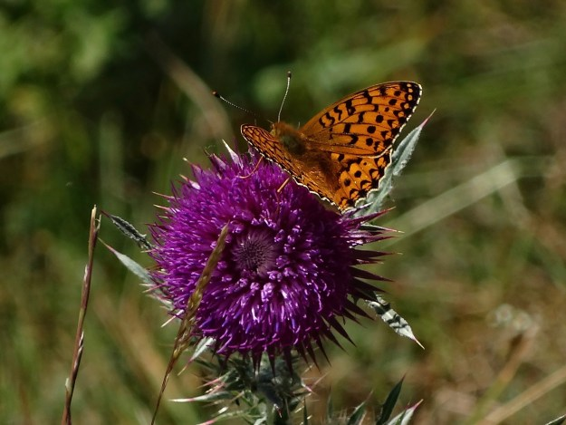 view of a Dark Green Fritillary nectaribng on a thistle showing uppersides of fore and -hind-wings