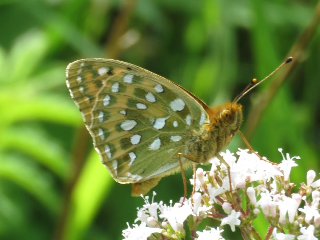 View of a Dark Green Fritillary showing the under hindwing markings