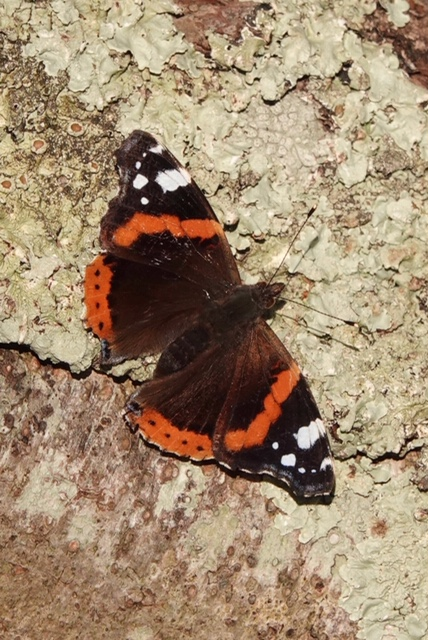 viuew of a Red Admiral basking on a tree trunk with wings wide open