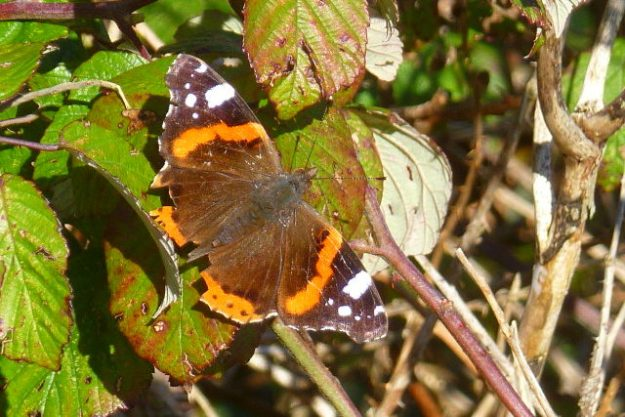 view of a tatty Red Admiral resting on Blackberry bushes