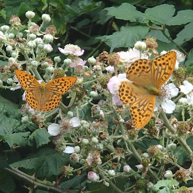 view of two Silver-washed Fritillariesnectaring on bramble flowers