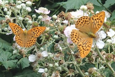 Two butterflies on bramble flowers. Both orangey brown with complex brown line markings