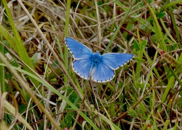 view of an Adonis Blue resting on grass with wings wide open