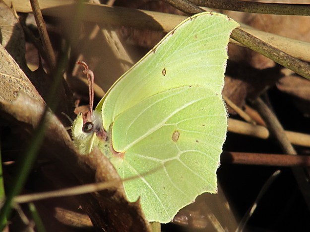 view of a Brimstone resting on the woodland floor