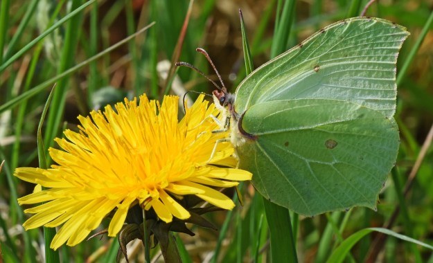 view of a Brimstone nectaring on a dandelion