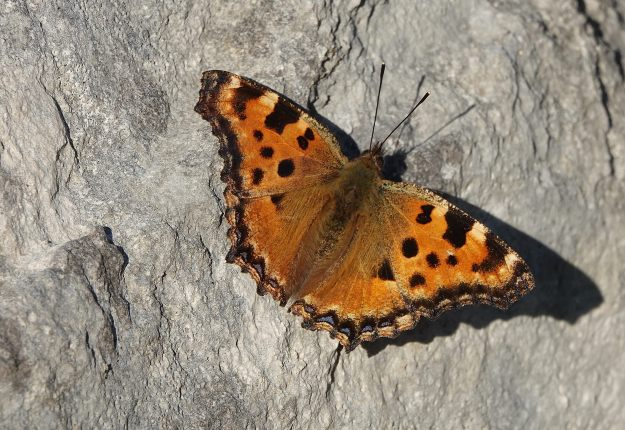 view of a Large Tortoiseshell sunning itself on rocks with wings wide open