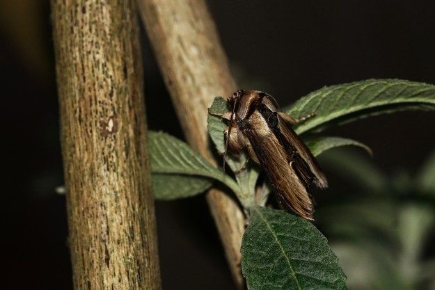 view of a newly hatched Mullien moth resting on a twig