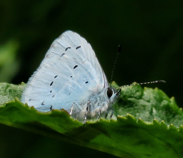 view of a Holly Blue resting with wings closed on Mahonia