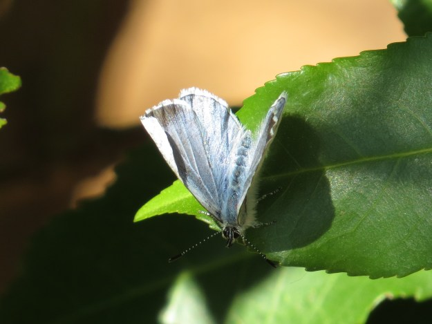 viewe of a female Holly Blue resting on a leaf showing a little of the black upper forewing markings