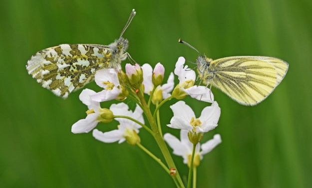 photo of a Green -veined White and an Orange tip plus an egg, on Lady's Smock