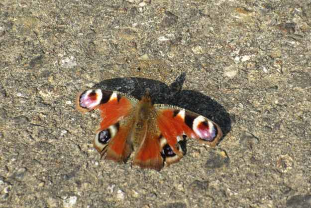 view of a very tatty Peacock resting on a tarmac track
