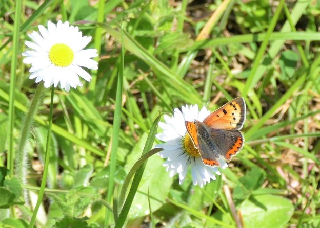 view of a Small Copper aberration showing very palescream on right upper fore-wing