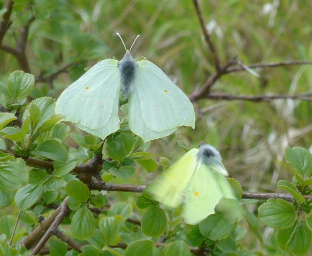 A white and a yellow butterfly on a bush