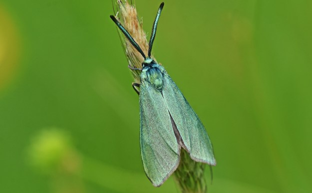 An iridescent  green moth resting on a twig
