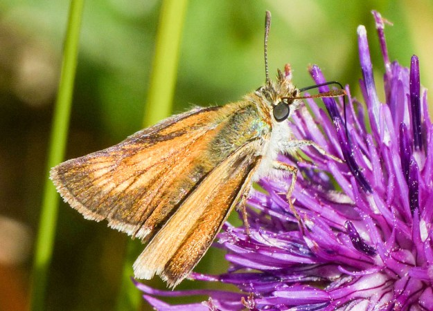 Small orange and brown butterfly on a purple flower