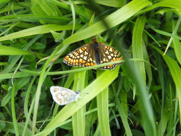 One orange butterfly with open wings and a pale blue butterfly with closed wings, in the same grassy patch
