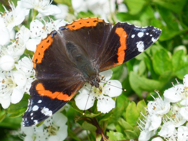 Black butterlfy with striking red and white markings