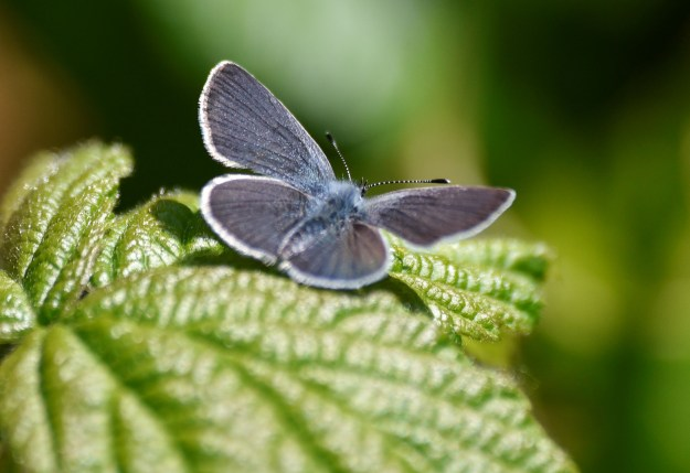 Small butterfly of a dark grey colour and white fringes